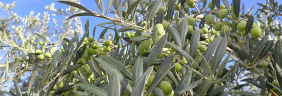 Olives growing in the Languedoc